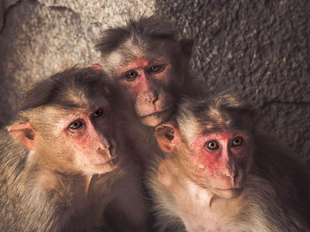 קופים, הודו