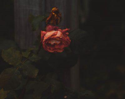 ורד, ורד נובל, נבילה