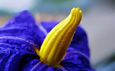 פרח, אמזונס
