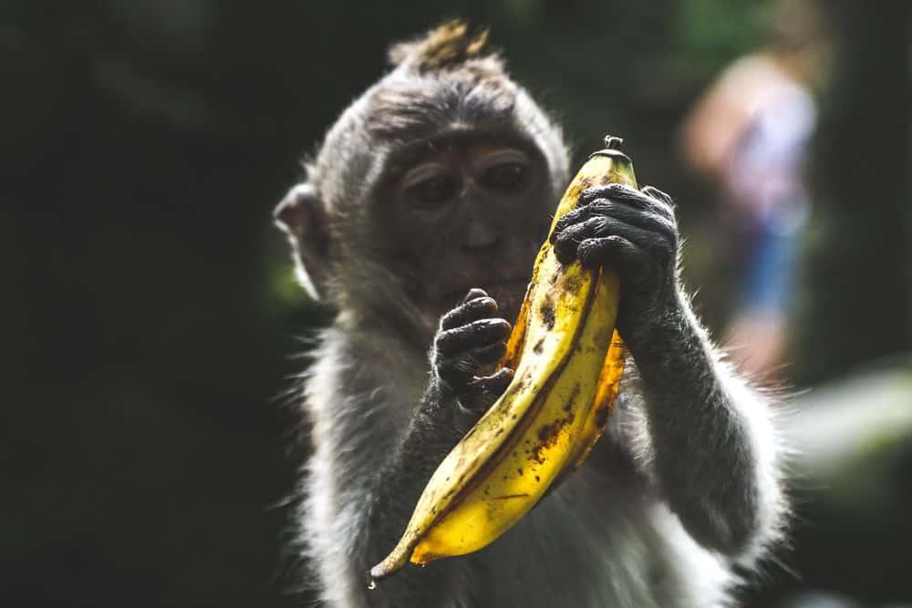קוף, בננה