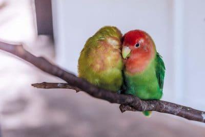 תוכים, זוג, אהבה