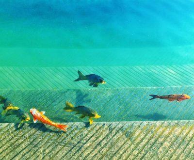 דגים, בריכה. אמריצר