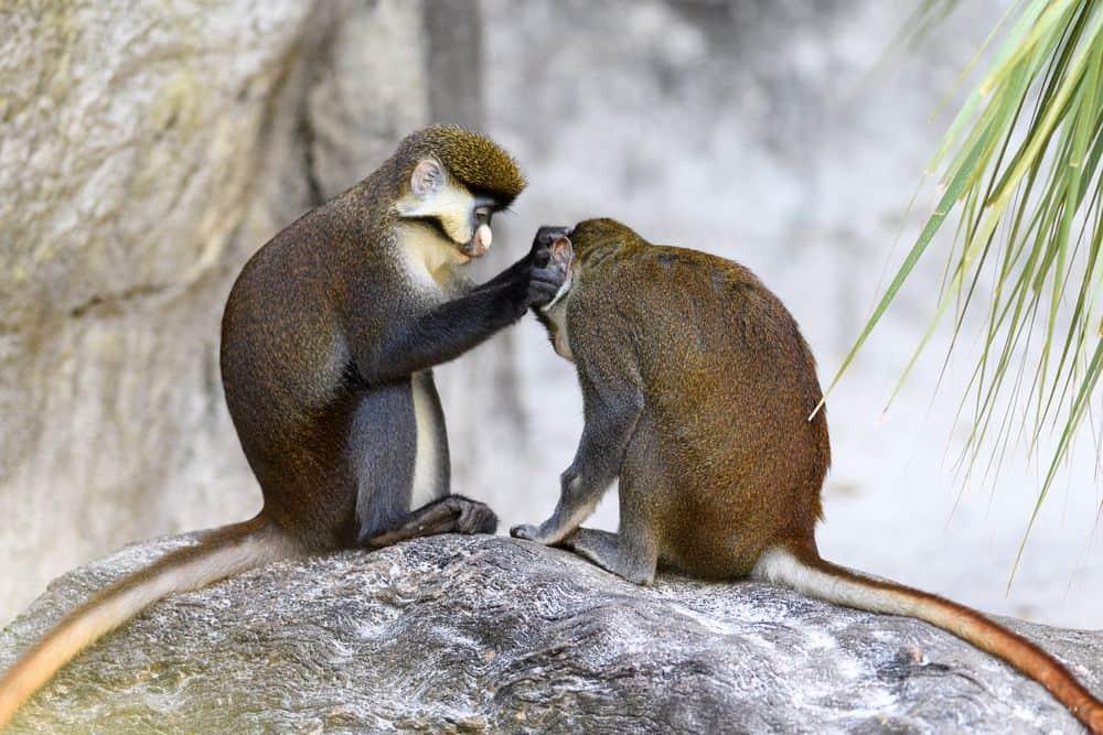 קופים, מגע, טיפול