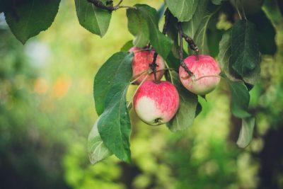 תפוח, תפוחים, עץ תפוחים