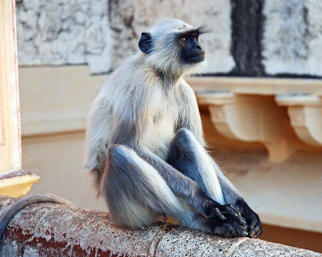 לנגור אפור, קוף, הודו