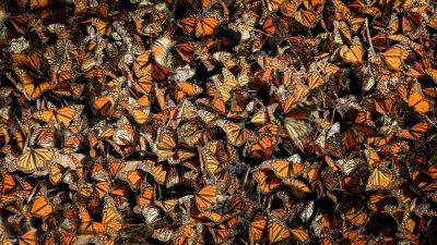 פרפרים, מקסיקו