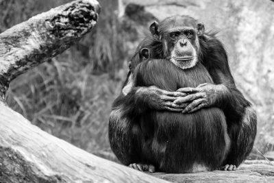שימפנזים, חיבוק