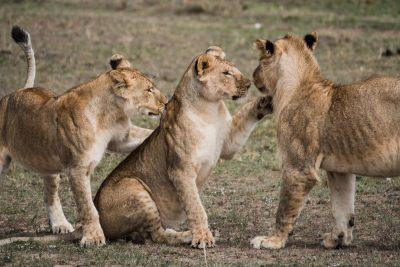 גורות, אריה, לביאות
