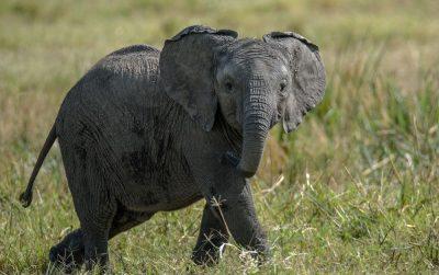 גור פילים, פיל, גור