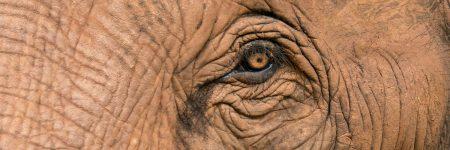 פיל, עין, עין של פיל