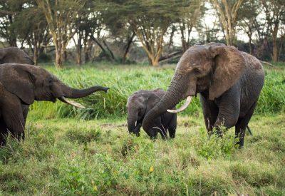 פילים, תקשורת, שפה
