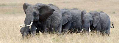 פילים, עדר פילים