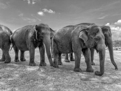 פילים, יתומים, סרי לנקה