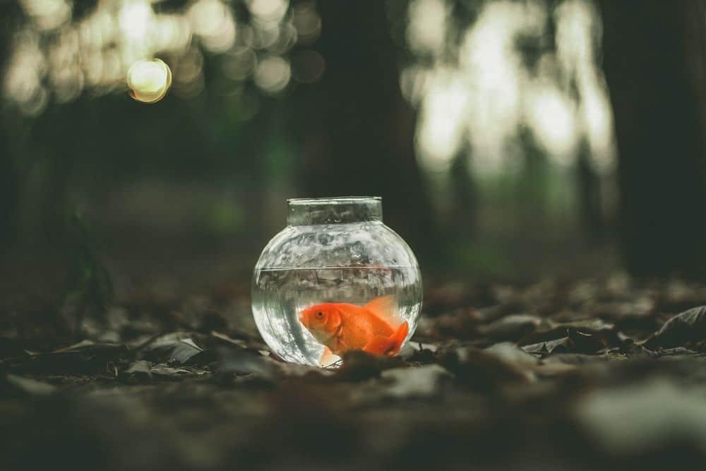 דג זהב, אקווריום
