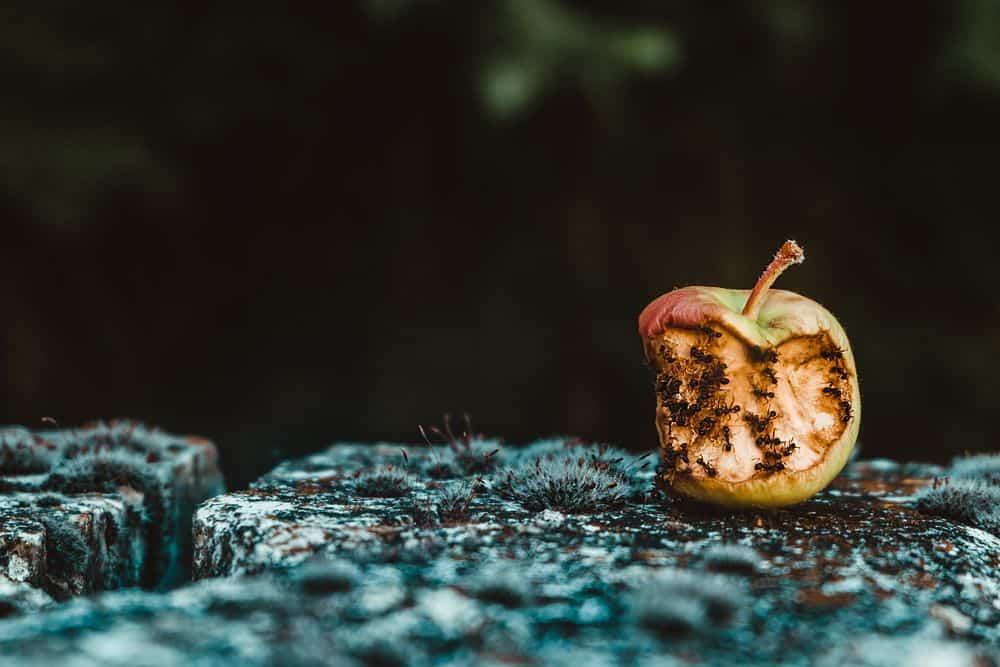 תפוח רקוב, נמלים