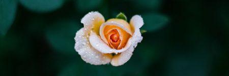 ורד, עלי כותרת
