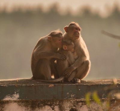 קופי רזוס, קופי מקאק, הודו