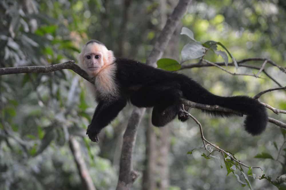 קוף, קפוצי'ן