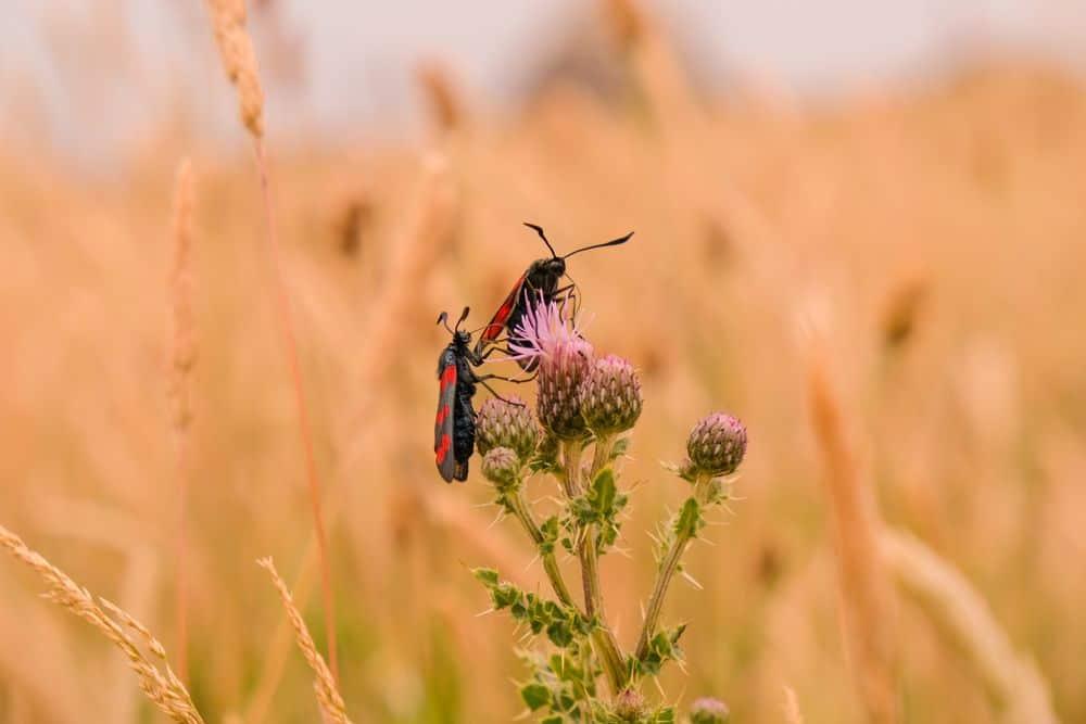 שינן, חרקים, עשבי קיץ