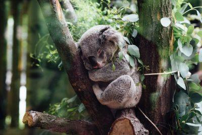 קואלה, שינה, עץ, ענף