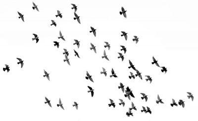 ציפורים, להקת ציפורים