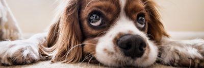 כלב, ספנייל, עיניים, עיני כלב