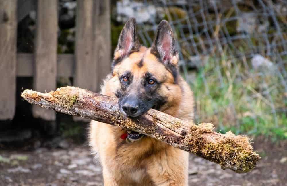 כלב זאב, מקל