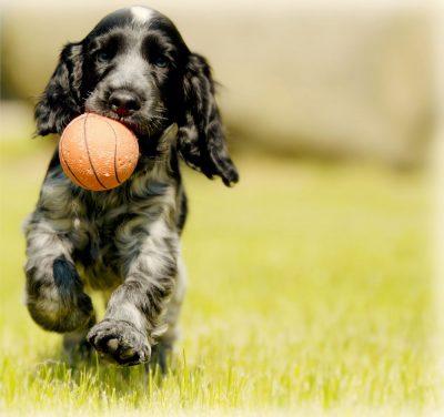 כלב, ספנייל, כדור