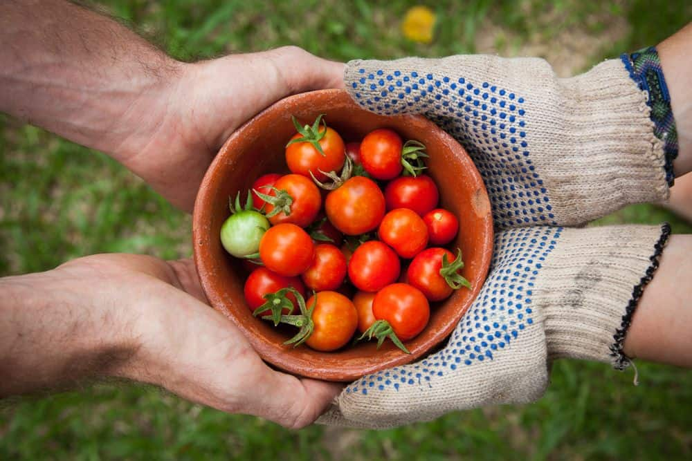 עגבניות, עגבניות שרי, קערה, כפפות, ידיים