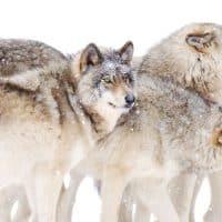 זאבים, זאב, עדת זאבים