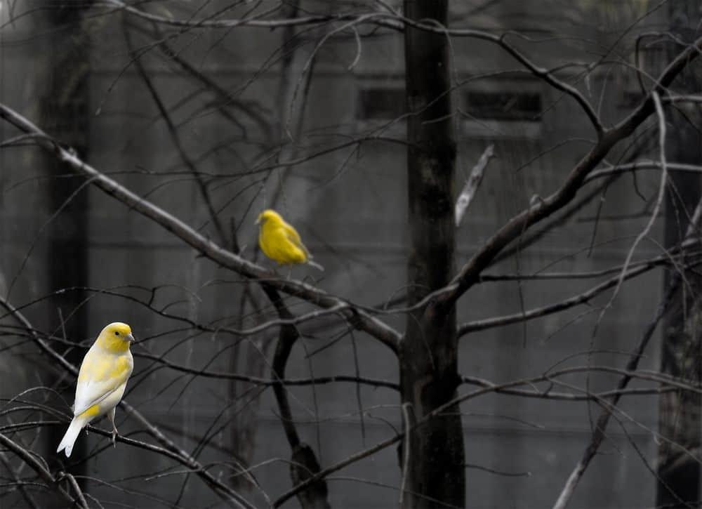 ציפורים, צהובות
