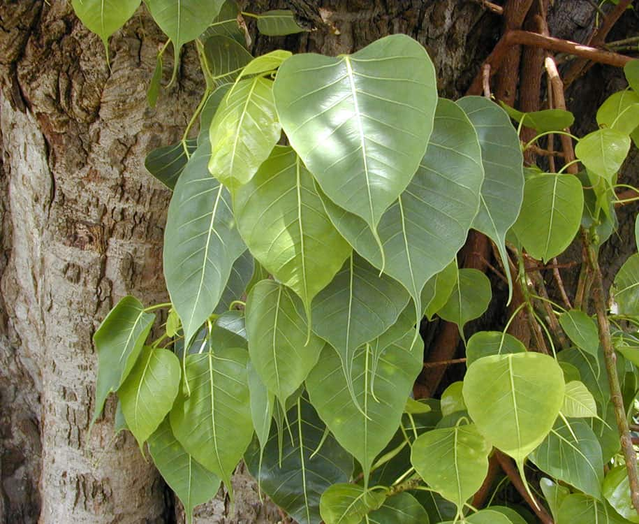 עץ הבודהי, עלי תאנה, עץ תאנה