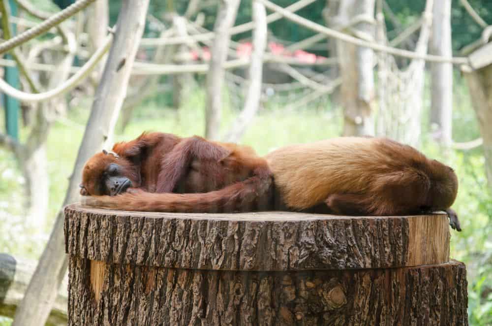 קופים, קופים ישנים