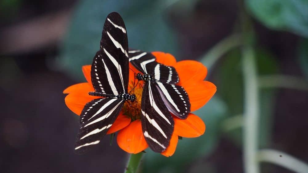 פרפרים, זברה