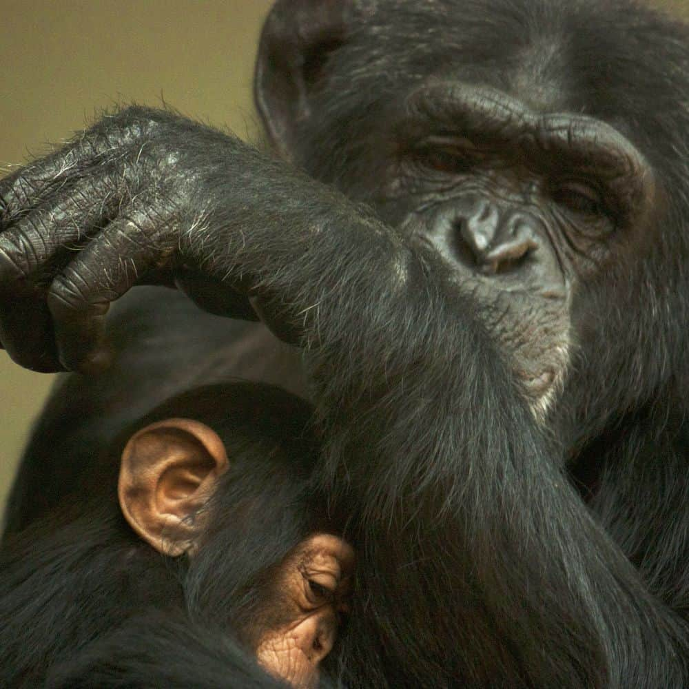 שימפנזה, אמא, אימהות