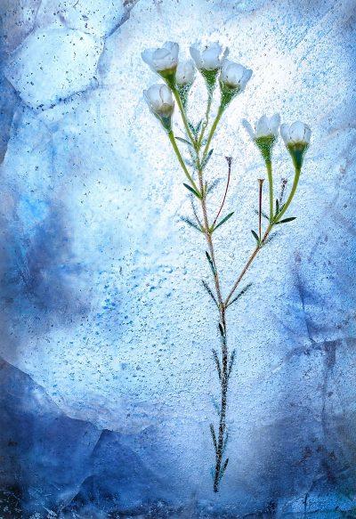 פרחים, קרח