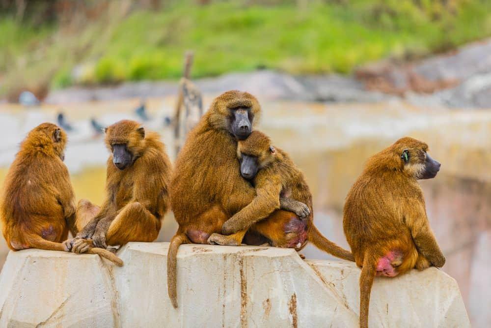קופים, קבוצה