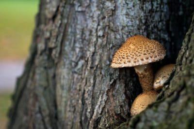 פטרייה, עץ