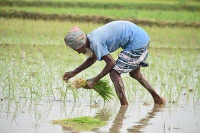 שדה אורז, זקן