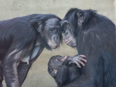 בונובו, הורים, תינוק, משפחה
