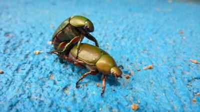 חיפושיות, הזדווגות