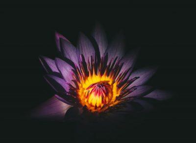 פרח סגול, כתום, מוקד