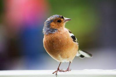 ציפור, אדן חלון