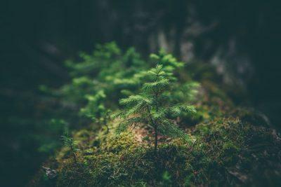 עץ צעיר, מחטניים, אורן