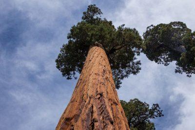 סקוויה, עץ