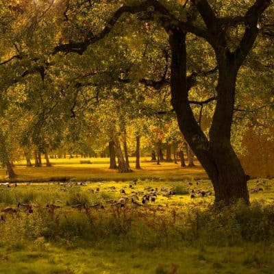 עצים, יער, אווזים
