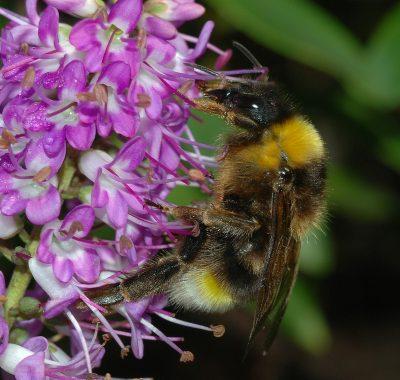 דבורה, דבור, בומבוס