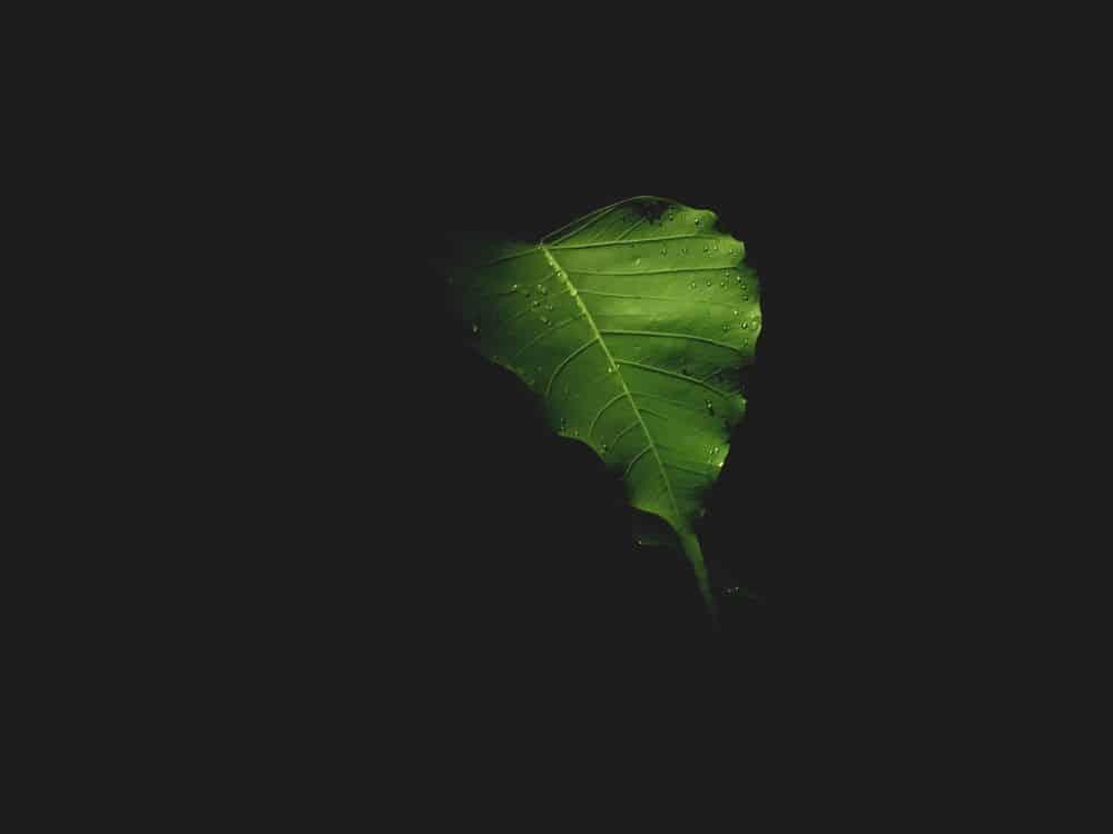 תאנה, פיקוס, עץ הבודהי