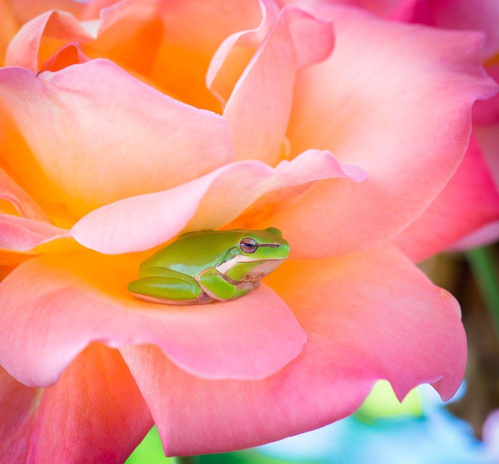 צפרדע, ורד