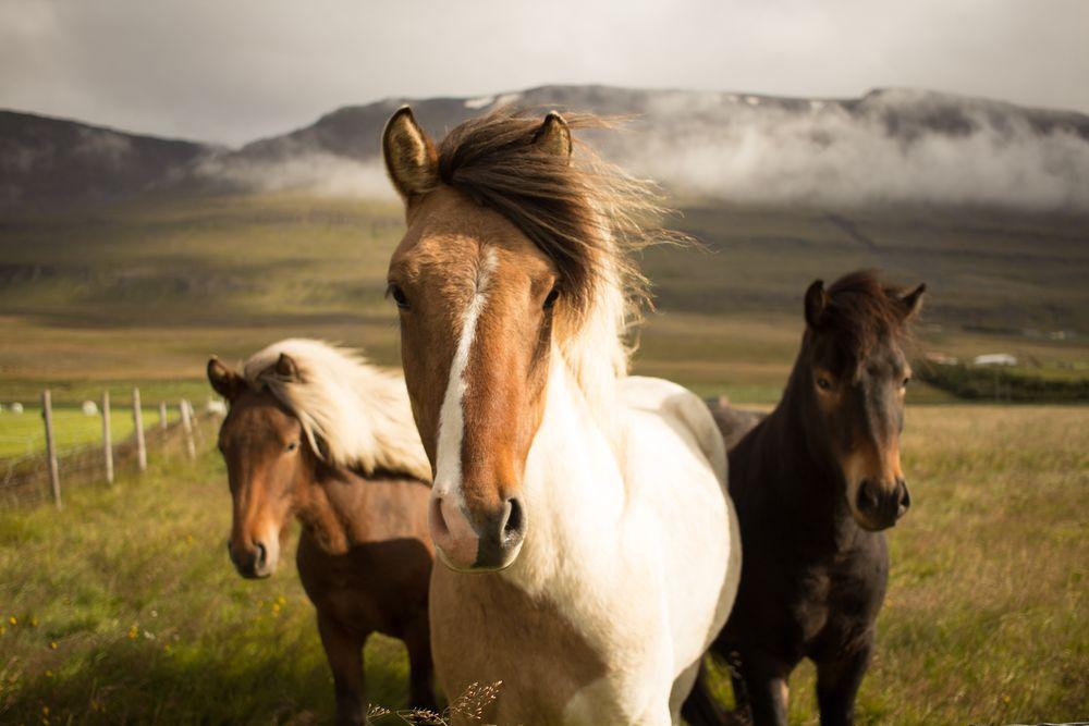 סוסים, איסלנד